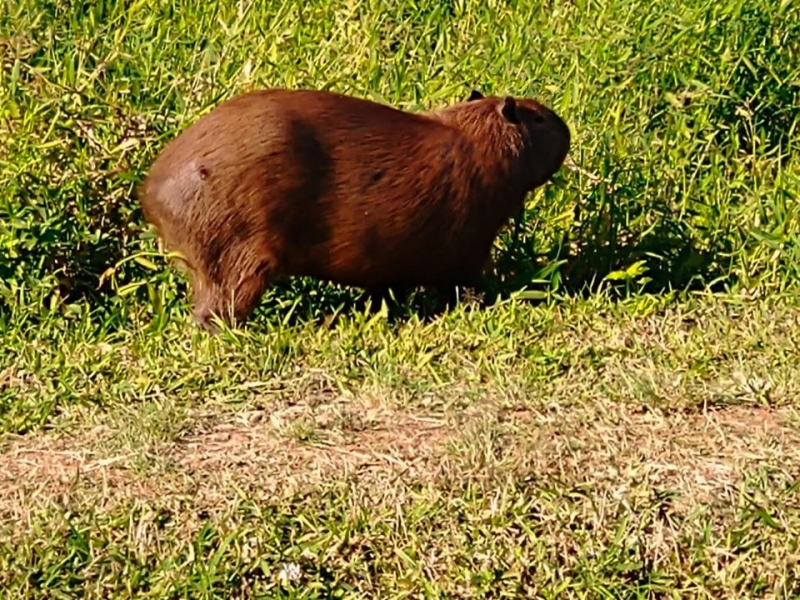 Noticia secretaria-do-meio-ambiente-monitora-capivara-ferida